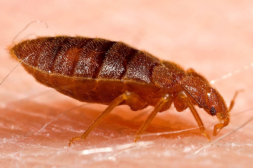 Bed Bugs | How to get rid of them